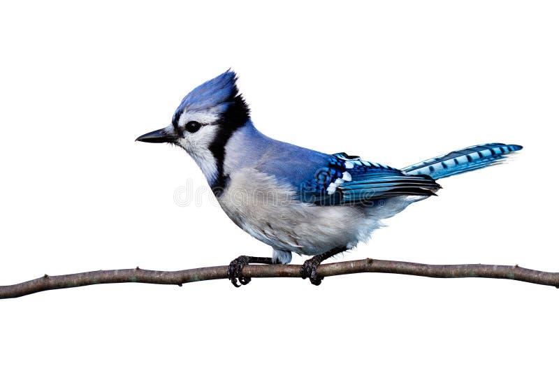 Horizontale mening van bluejay die op een tak wordt neergestreken royalty-vrije stock fotografie