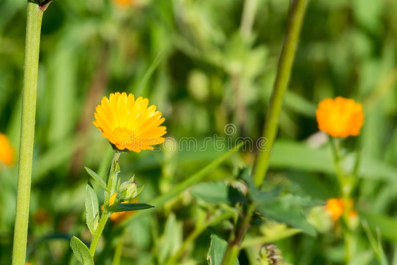 Horizontale Viwe van Dichte Omhooggaand van een Oranje Bloem op de Groene Lente stock fotografie