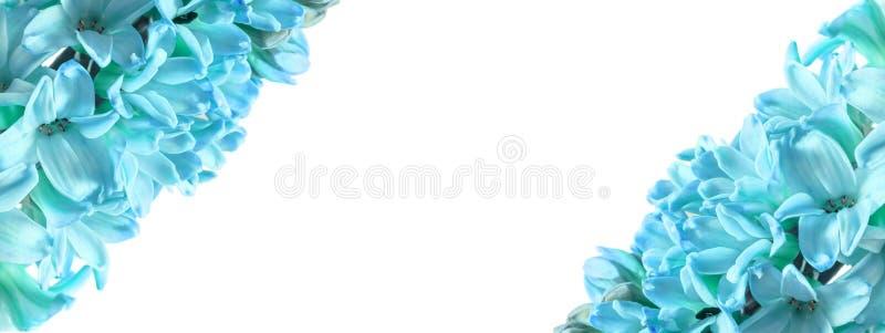 Horizontaler Rahmen für blaue Hyazinthe-Blumen mit isoliertem weißem Hintergrund in der Mitte für Text, Inschrift Großes Foto stockfotos