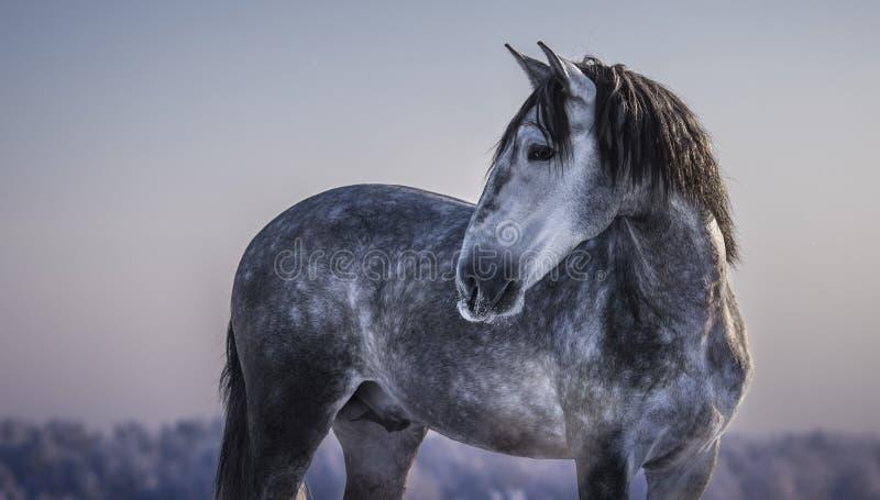 Horizontales Porträt des grauen spanischen Pferds mit Winterabend stockbilder