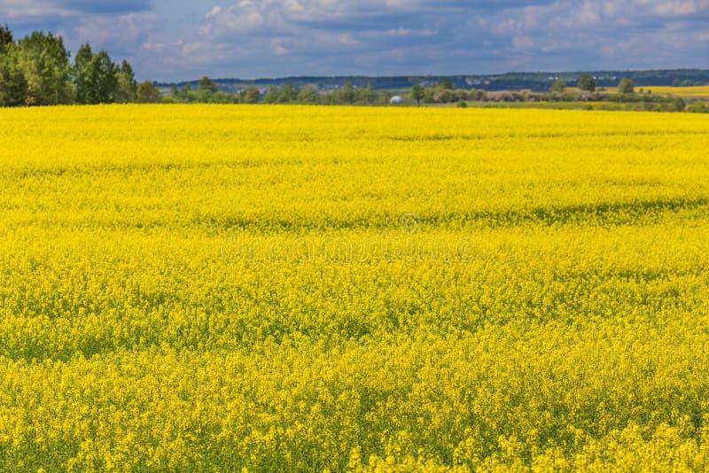 Horizonte de la flor del amarillo del campo de la rabina de la primavera imagen de archivo