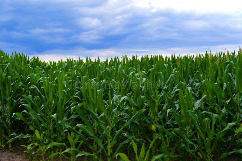 Horizonte del maíz después de la tormenta 2 imagen de archivo libre de regalías