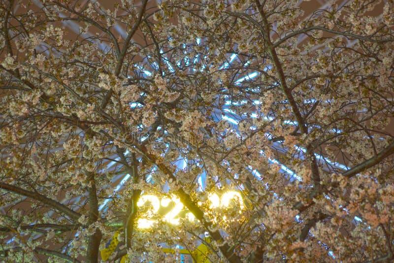 Horloge de fleurs de cerisier et de Cosmo photographie stock