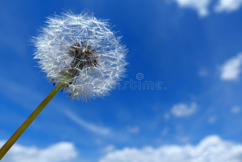 Horloge de pissenlit contre le ciel bleu et blanc photo stock