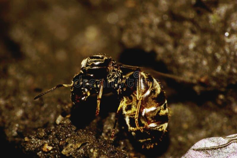 Hormiga caucásica doblada macro imágenes de archivo libres de regalías