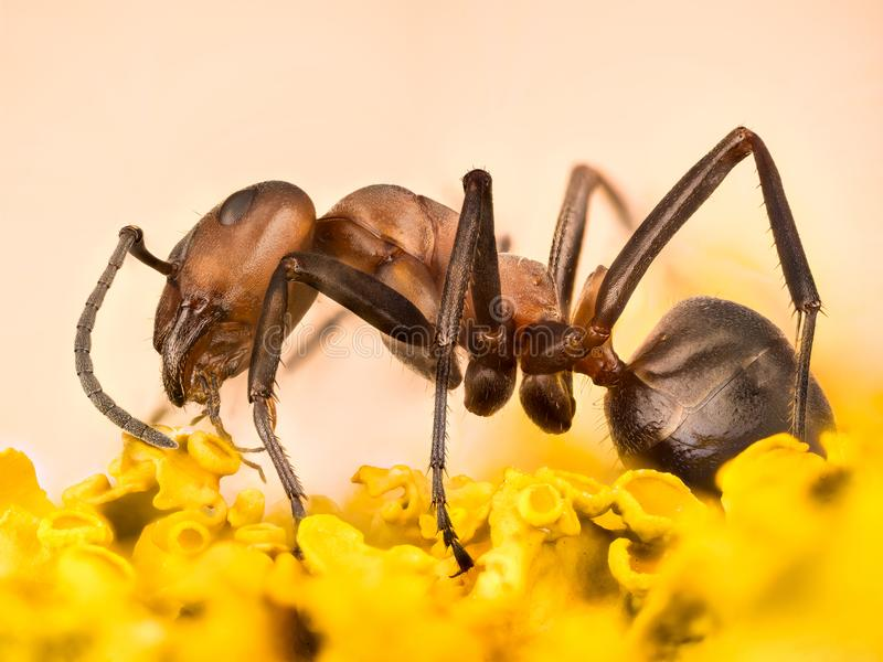 Hormiga de madera, hormiga, hormigas, rufa de formica fotos de archivo libres de regalías