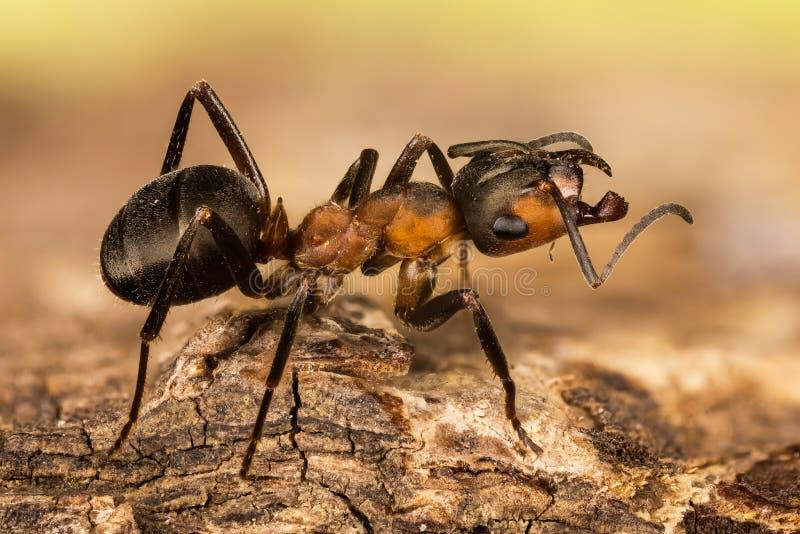 Hormiga de madera, hormiga, hormigas, rufa de formica fotos de archivo