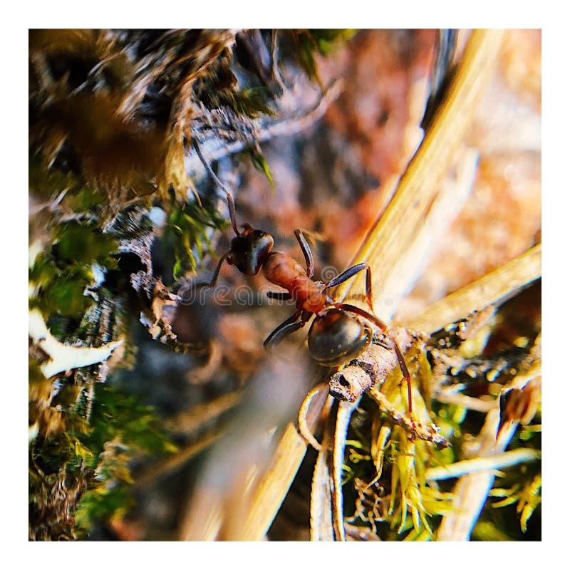 Hormiga de madera roja fotografía de archivo libre de regalías