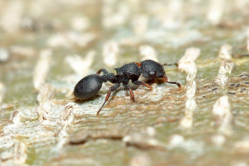 Hormiga del árbol fotografía de archivo