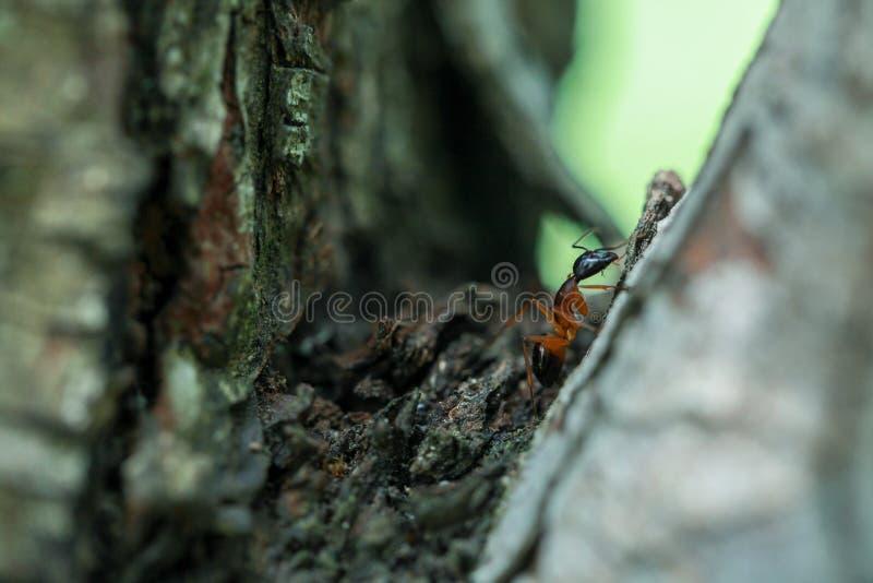Hormiga en tronco de árbol imagen de archivo