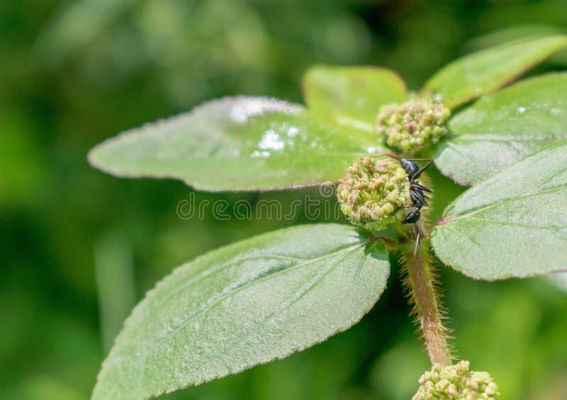 Hormiga en un brote de flor en cierre para arriba fotos de archivo