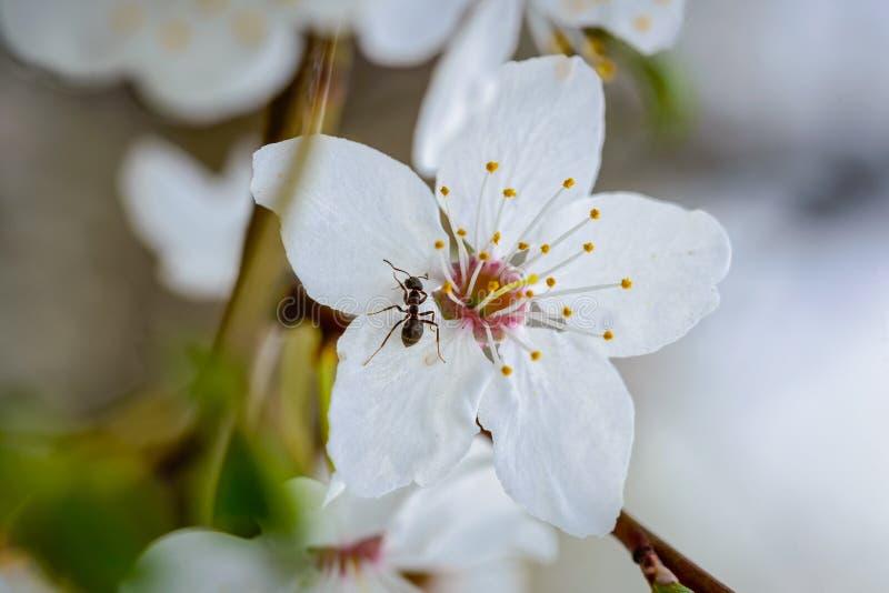 Hormiga en una flor de la pera imagen de archivo libre de regalías