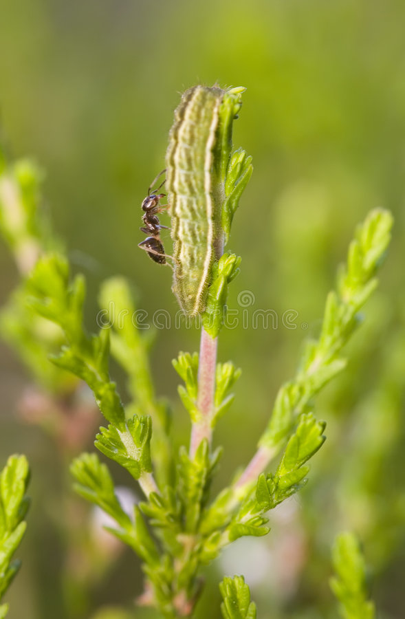 Hormiga en una oruga imágenes de archivo libres de regalías