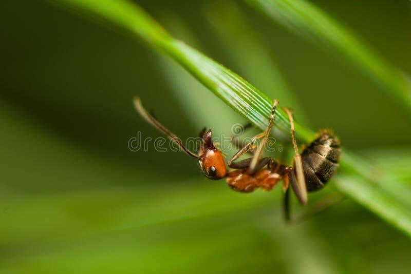 Hormiga - formica imagenes de archivo