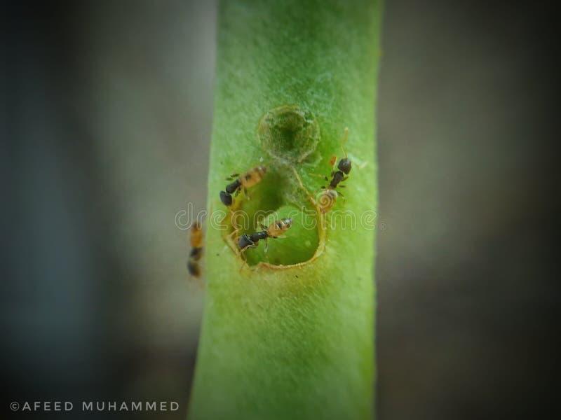 Hormiga macra imagen de archivo