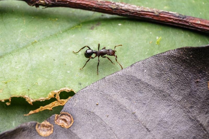 Hormiga negra imagenes de archivo