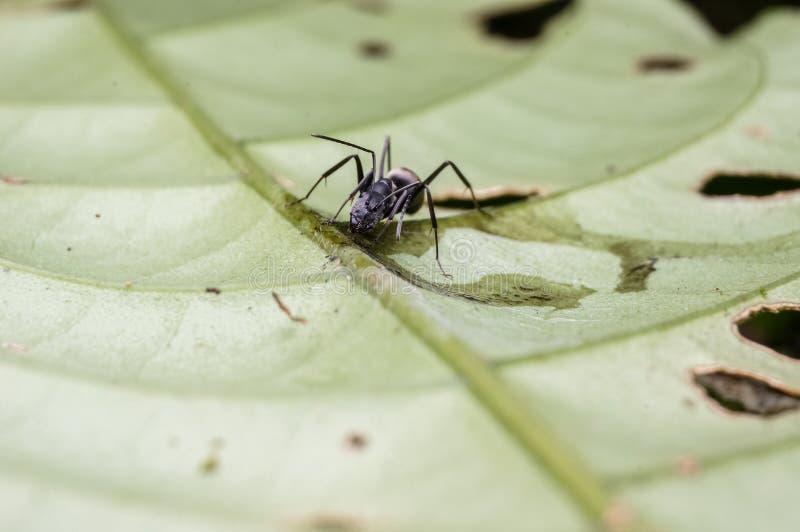 Hormiga negra imagen de archivo