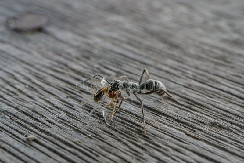 Hormiga negra con la hormiga roja en la boca para la comida imagenes de archivo