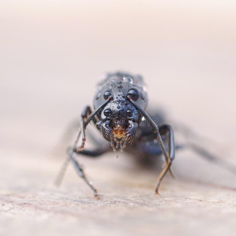 Hormiga negra en la madera imagen de archivo