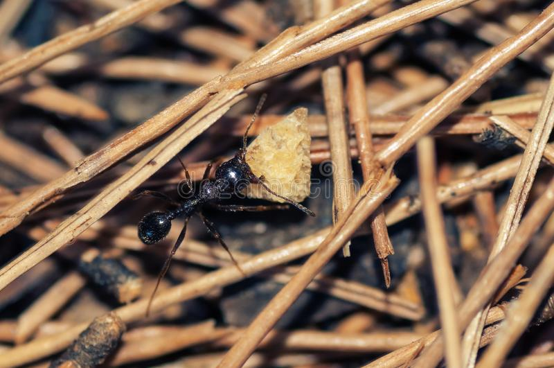 Hormiga negra que come el pedazo de tortilla de maíz foto de archivo libre de regalías