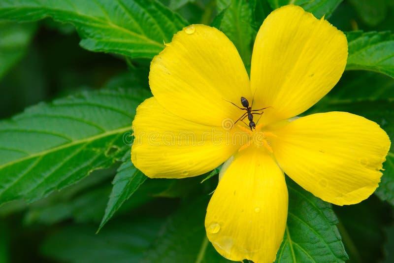 Hormiga que busca para la comida en una flor amarilla fresca en un jardín imagenes de archivo