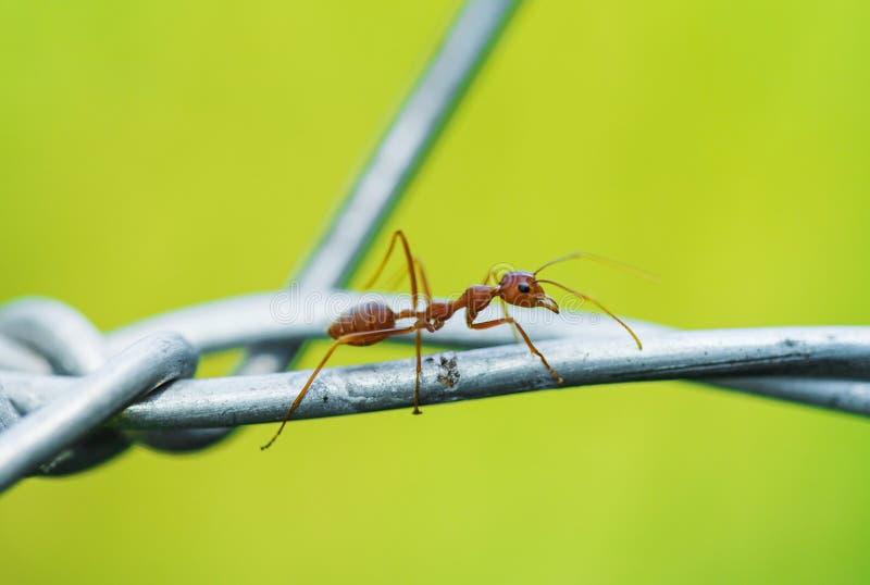 Hormiga que camina en el alambre imágenes de archivo libres de regalías