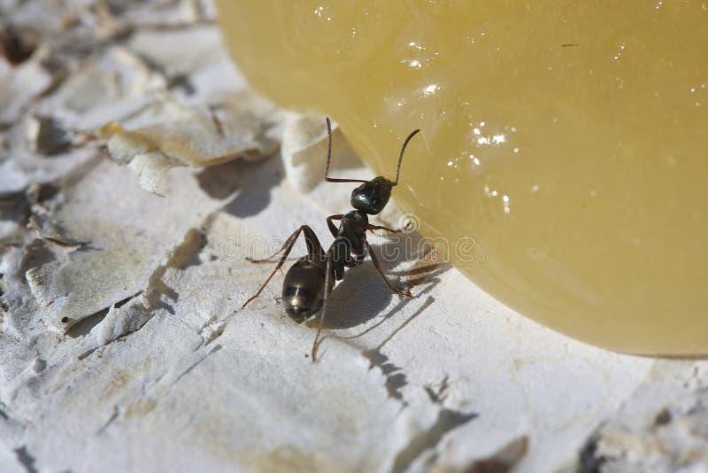 Hormiga que come la miel fotos de archivo libres de regalías