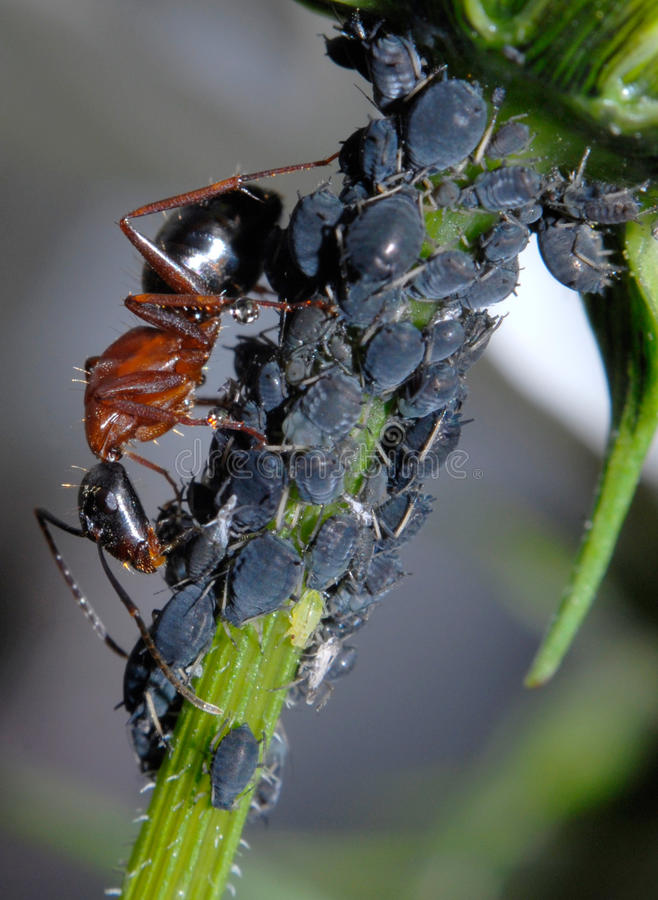 Hormiga que tiende áfidos imagen de archivo