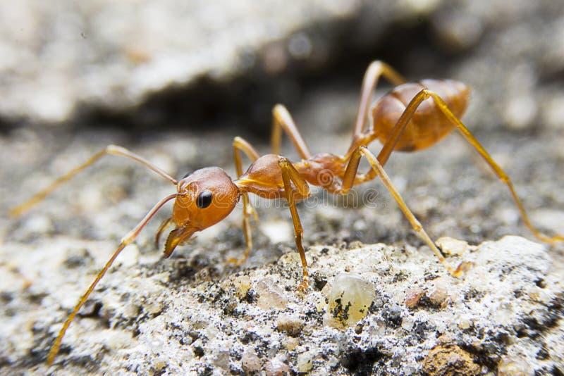 hormiga roja macra del primer en el fondo de piedra foto de archivo