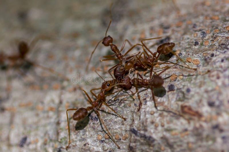 Hormiga roja que camina en el árbol imagen de archivo