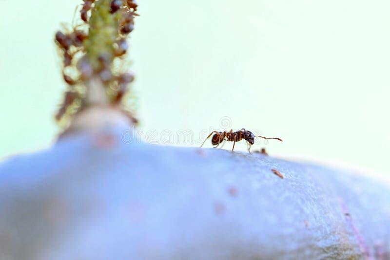 Hormiga roja que explora el área imagen de archivo