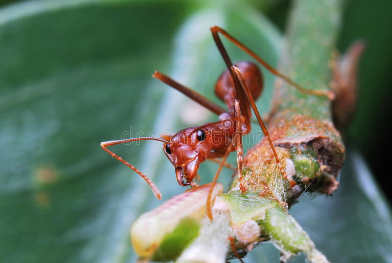 Hormiga roja a solas fotografía de archivo libre de regalías