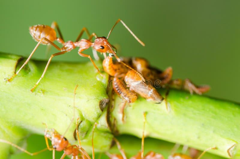 Hormiga y áfido rojos en la hoja imagen de archivo libre de regalías