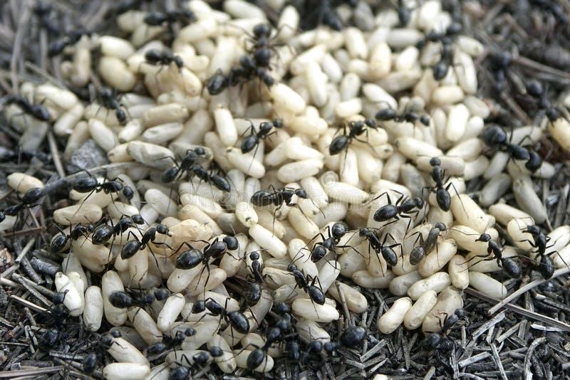 Hormiga y huevos imagen de archivo