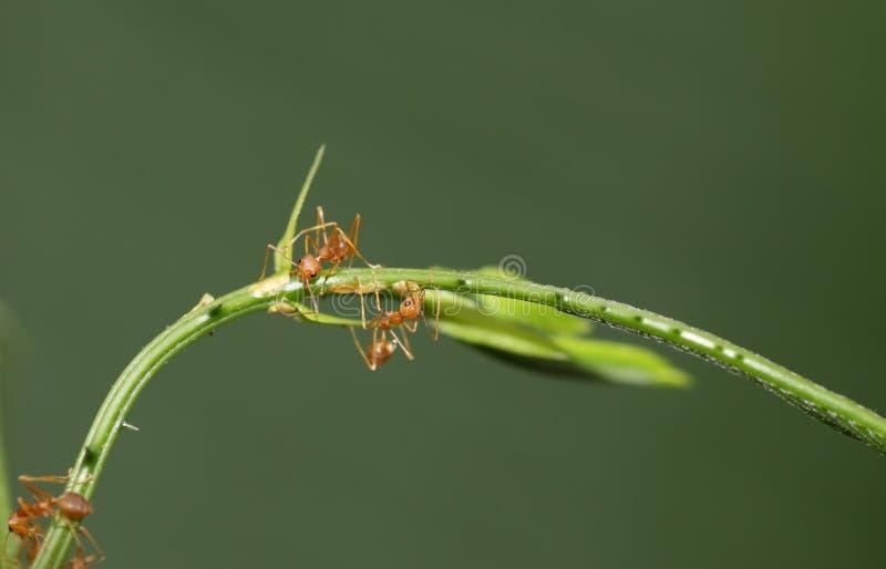 Hormigas fotografía de archivo libre de regalías