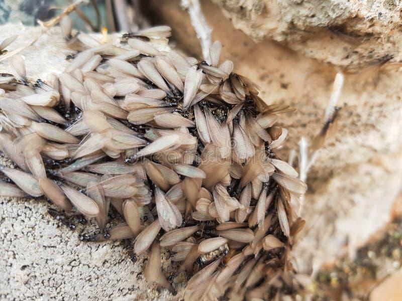 Hormigas coas alas en la tierra fuera del hormiguero listo para volar y para reproducirse fotografía de archivo libre de regalías