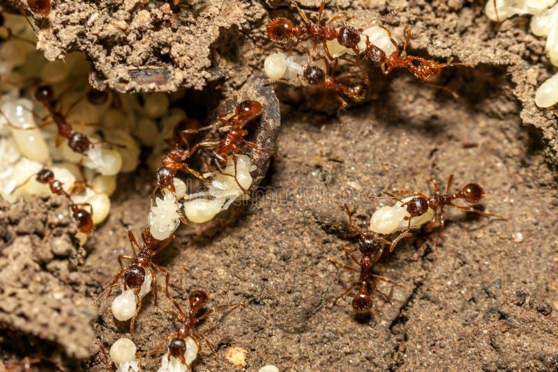 Hormigas con los huevos imagenes de archivo