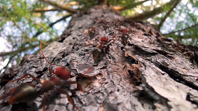 Hormigas de fuego que se arrastran encima de un árbol de pino fotos de archivo libres de regalías