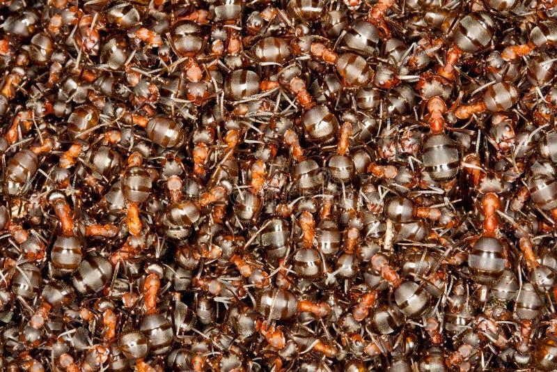 Hormigas de madera que toman el sol fotografía de archivo