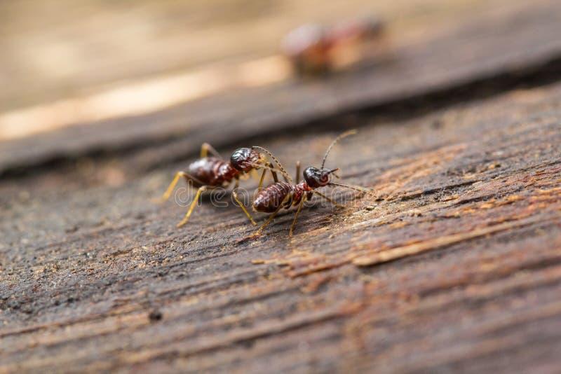 Hormigas del bosque imagen de archivo