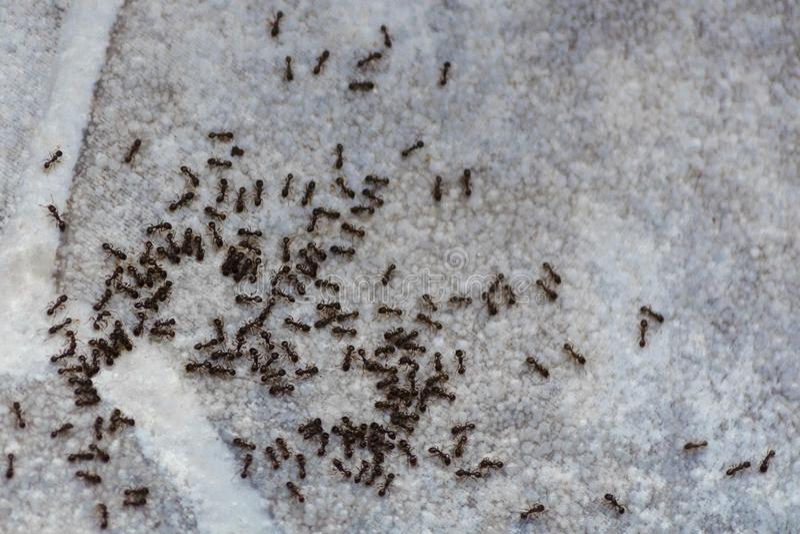 Hormigas en el piso dentro de la casa Los escarabajos comen en el piso en el apartamento foto de archivo