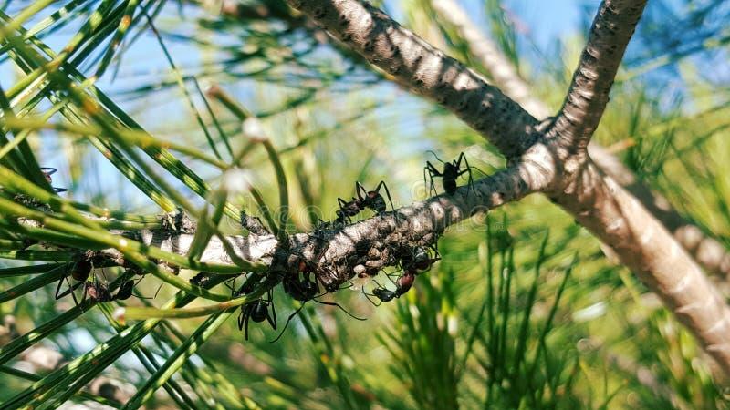 Hormigas en la rama del árbol foto de archivo libre de regalías