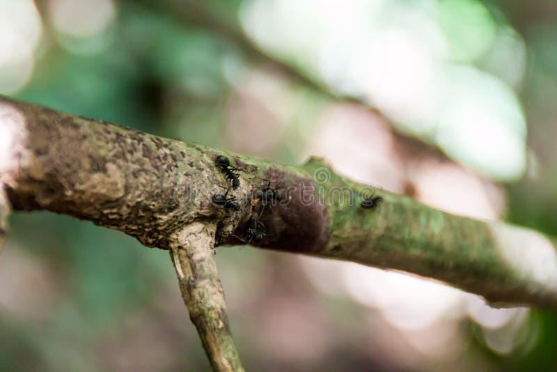Hormigas en una rama de árbol imagen de archivo