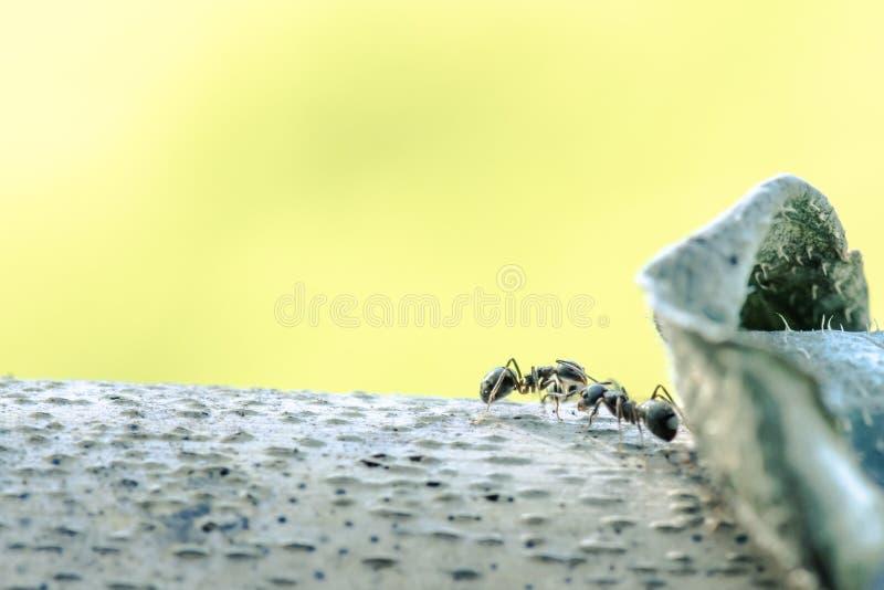 Hormigas grandes macras del retrato en árbol con la naturaleza verde fotos de archivo