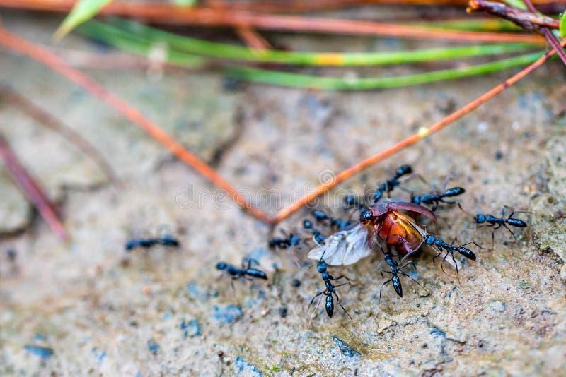 Hormigas negras fotos de archivo libres de regalías