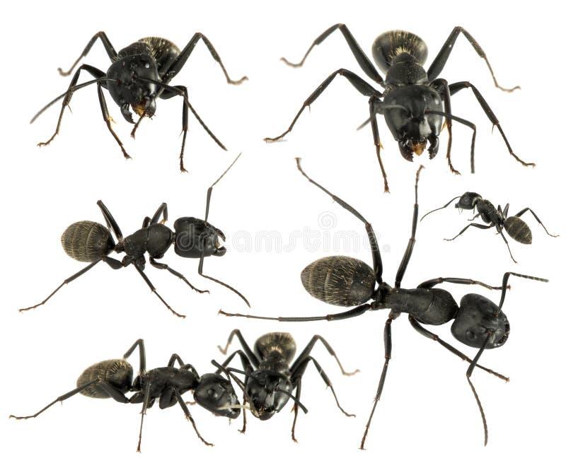 Hormigas negras foto de archivo
