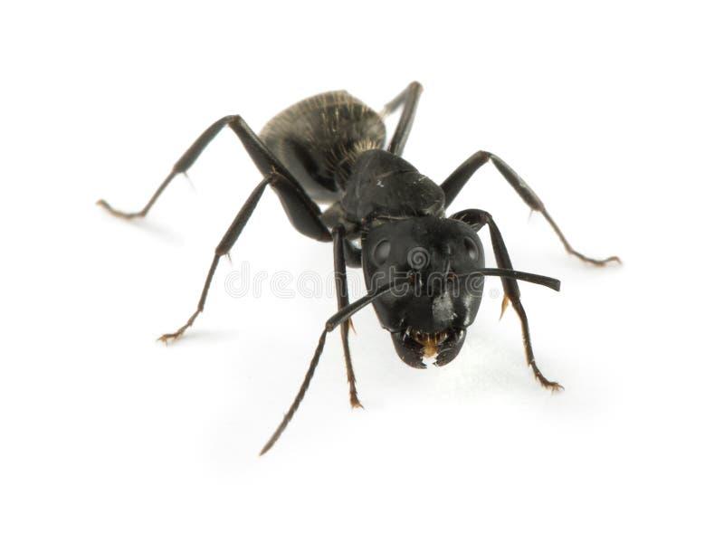 Hormigas negras imagen de archivo