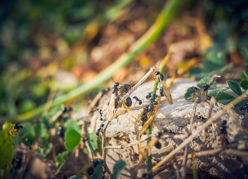 Hormigas negras con las alas imagenes de archivo
