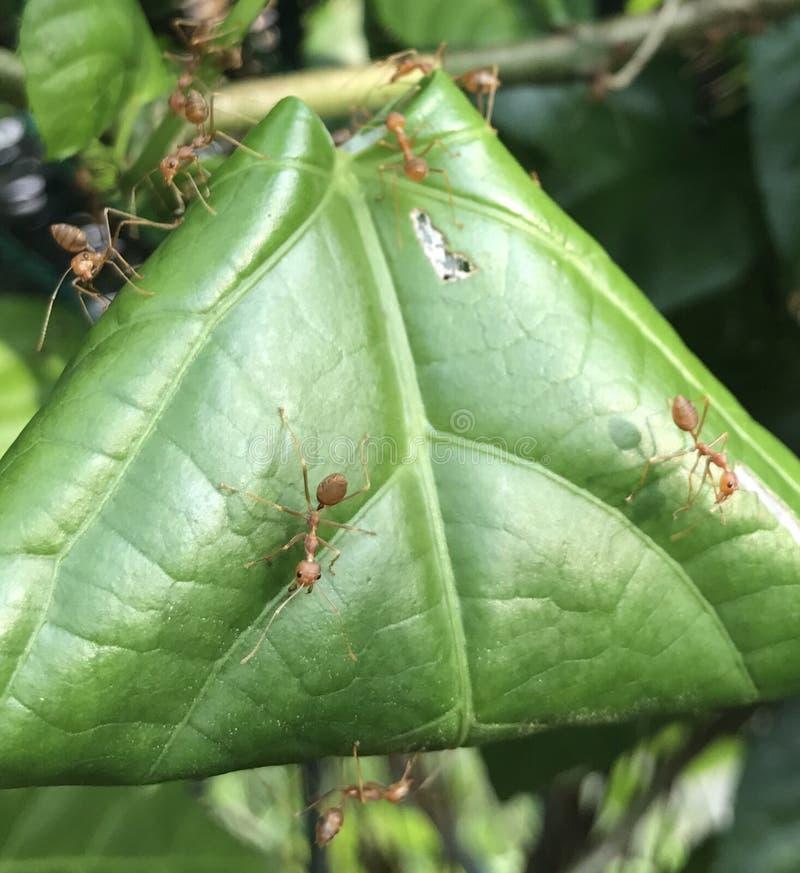 Hormigas rojas del soldado foto de archivo libre de regalías
