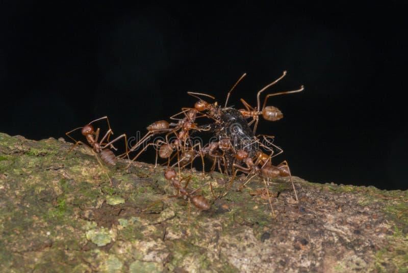 Hormigas rojas que llevan su presa en una corteza de árbol vista en las colinas de Garo, Meghalaya, la India fotos de archivo